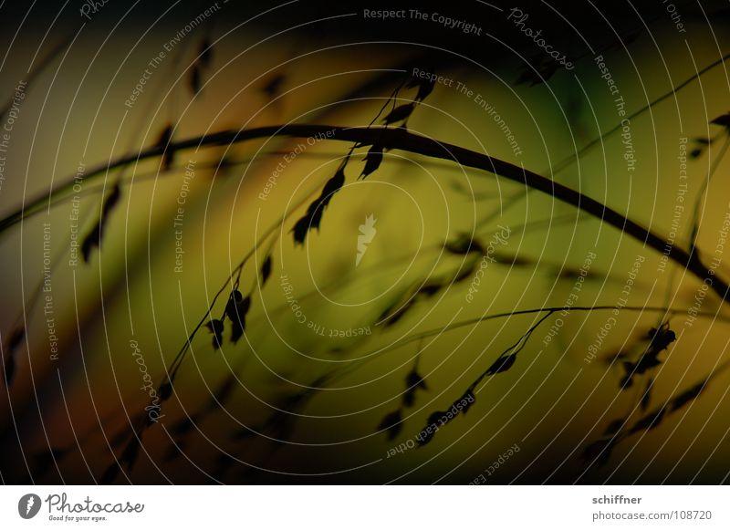 Abends gezittert II Pflanze dunkel Erholung Gras Traurigkeit Trauer zart Verzweiflung Lichtspiel zerbrechlich Farbenspiel Ziergras