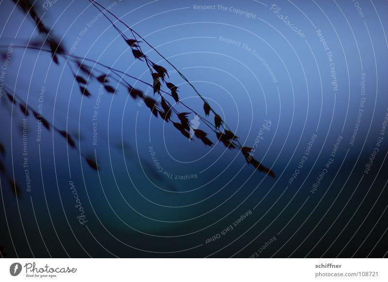 Abends gezittert III Gras Ziergras Pflanze Nacht Lichtspiel Farbenspiel dunkel Trauer zart zerbrechlich Erholung Verzweiflung Zittergras Tischschmuck abens