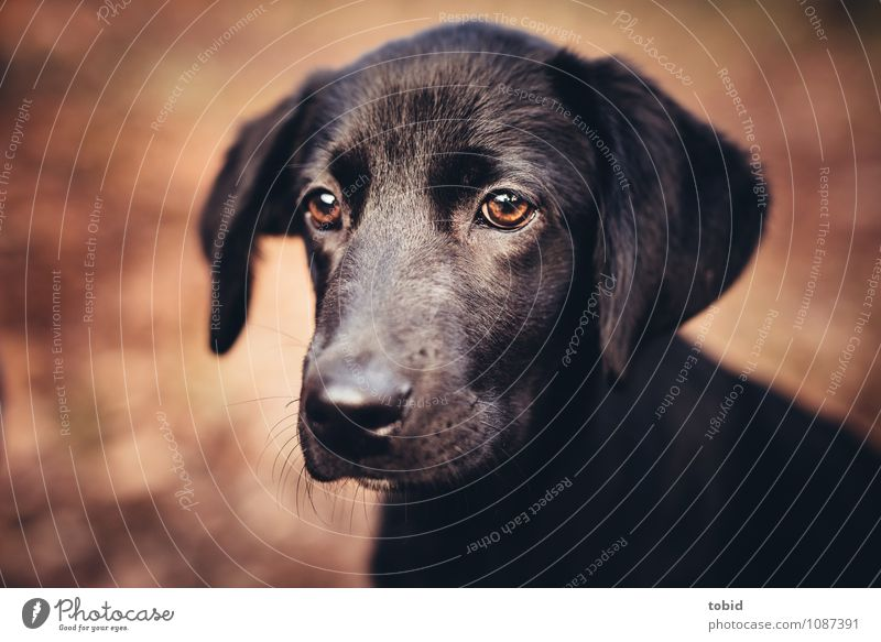 Amy Pt.5 Haustier Hund Tiergesicht Fell 1 beobachten glänzend kuschlig weich braun schwarz Labrador Ohr Schnauze Farbfoto Außenaufnahme Nahaufnahme Menschenleer