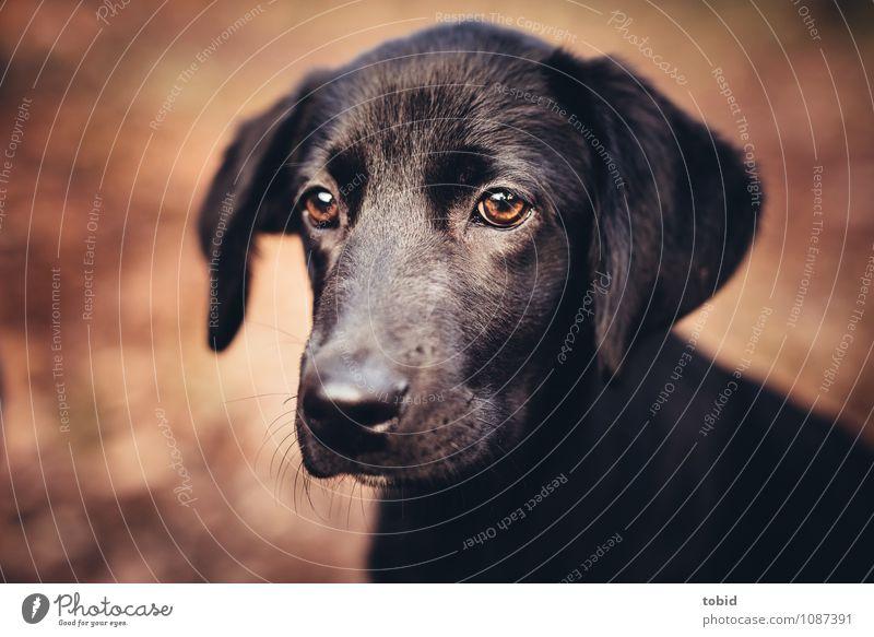 Amy Pt.5 Hund Tier schwarz braun glänzend beobachten weich Ohr Fell Haustier Tiergesicht kuschlig Schnauze Labrador