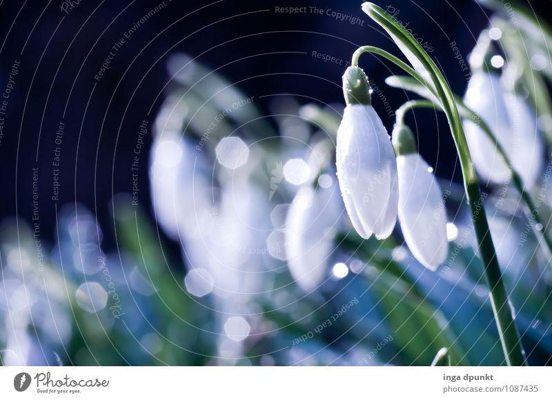 Schneeglöckchen Weißröckchen Umwelt Natur Landschaft Pflanze Urelemente Wasser Wassertropfen Frühling Winter Schönes Wetter Blume Blüte Wildpflanze Lilien Tau