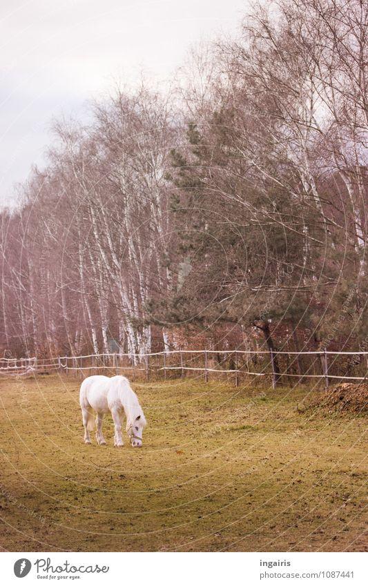 Allein Natur Himmel Wolken Herbst Winter Baum Gras Birke Wiese Weide Tier Nutztier Pferd Ponys 1 Fressen genießen stehen Freundlichkeit klein braun grau grün