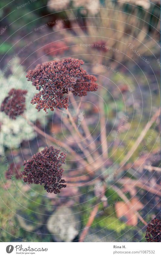 Fette Henne Natur Pflanze Winter Blume Garten verblüht natürlich Fetthenne Samen Landleben Farbfoto Außenaufnahme Menschenleer Schwache Tiefenschärfe
