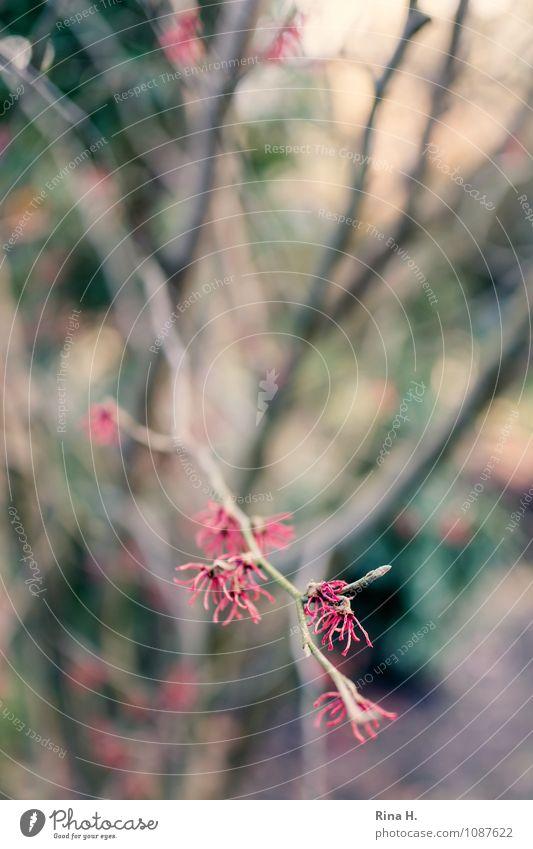 Hamamelis Natur Baum Winter Frühling natürlich Garten Blühend Zweige u. Äste Zaubernuss