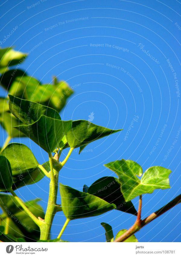 grün und blau.... Himmel grün blau Sommer Blatt Garten Park Efeu