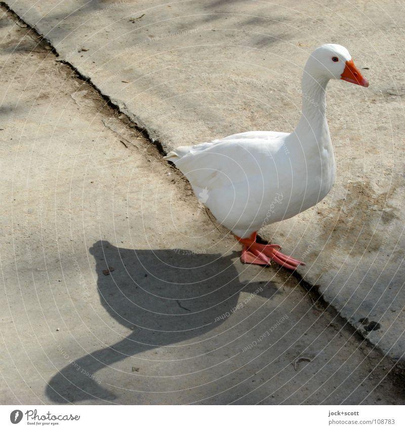 genau drauf und doch daneben (projekt mit ganz ente) Sommer Tier Schönes Wetter Kreta Nutztier Gans 1 Betonplatte Linie gehen laufen dünn Gesundheit Glück schön