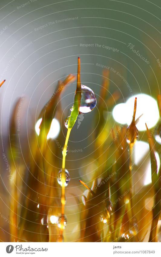 frühlingsfrisch Pflanze Wassertropfen Frühling Sommer Herbst Schönes Wetter Regen Moos Grünpflanze glänzend nass natürlich Natur Farbfoto Außenaufnahme
