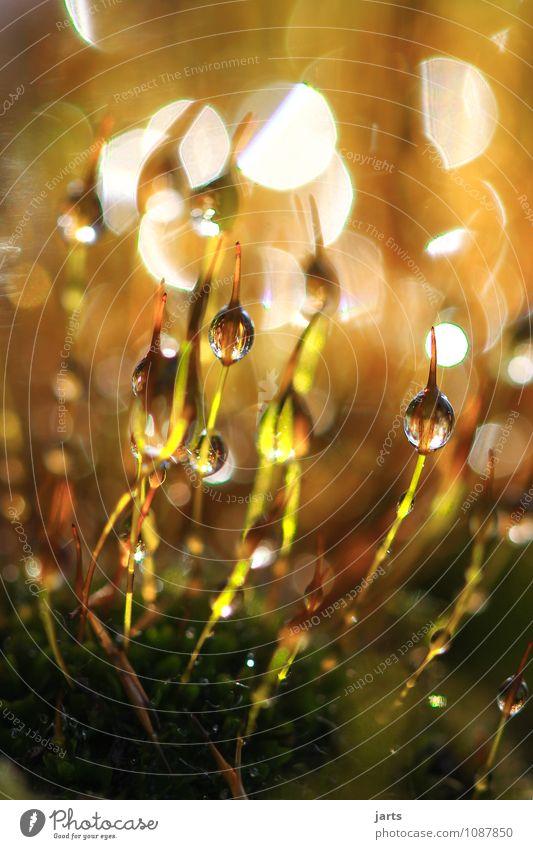 der ursprung aller dinge ist klein Natur Pflanze Schönes Wetter Moos frisch hell natürlich neu Neuanfang Wassertropfen Ursprung gold Farbfoto Außenaufnahme