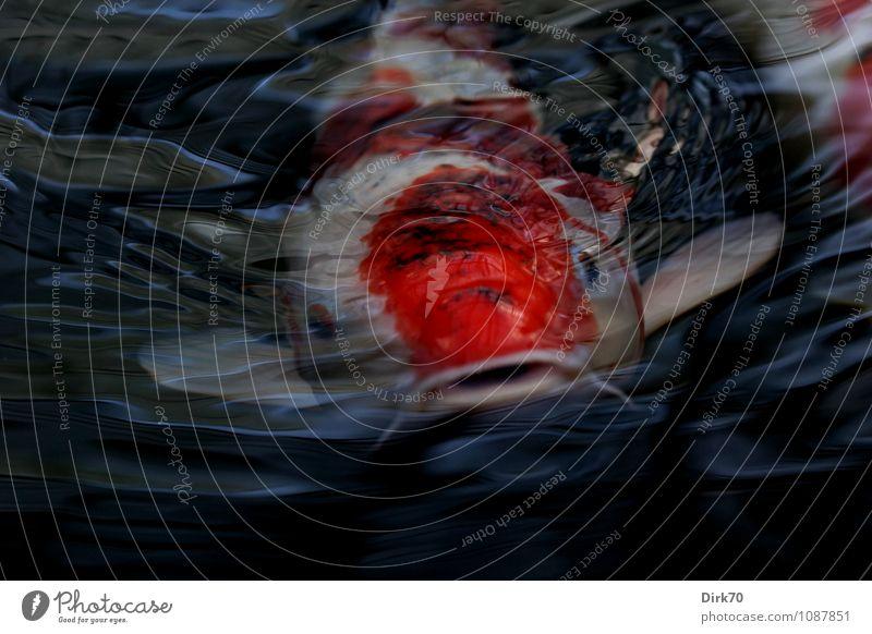 From the deep Haustier Wasser Wellen Teich Tier Fisch Tiergesicht Karpfen Koi Zierfische 1 beobachten Blick Schwimmen & Baden bedrohlich Bekanntheit dunkel nass