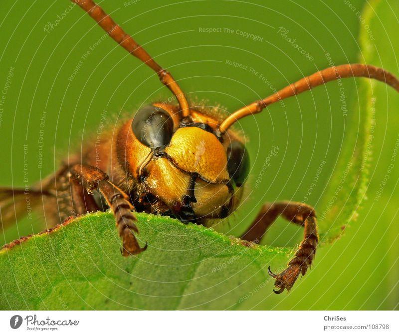 Hornissen gucken ( Vespa crabro ) grün Sommer Tier schwarz gelb Herbst Frühling Angst Haut Insekt Panik Gift Aussehen Fühler frontal stechen