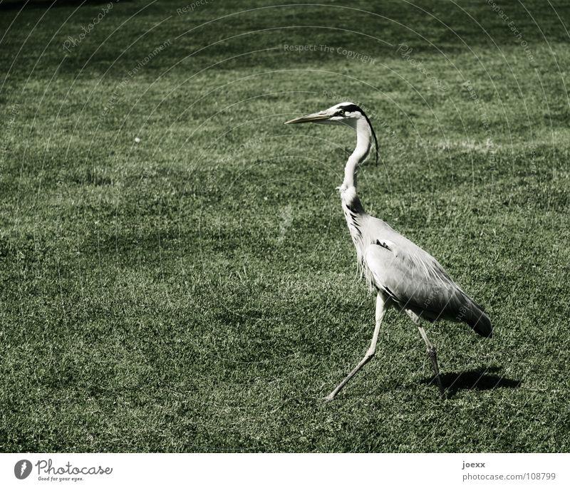 Stolz und Vorurteil Graureiher Hochmut vertikal eitel gehen Rasen Reiher selbstbewußt stolzieren Vogel Wiese Macht Garten Park Feder Ordnung