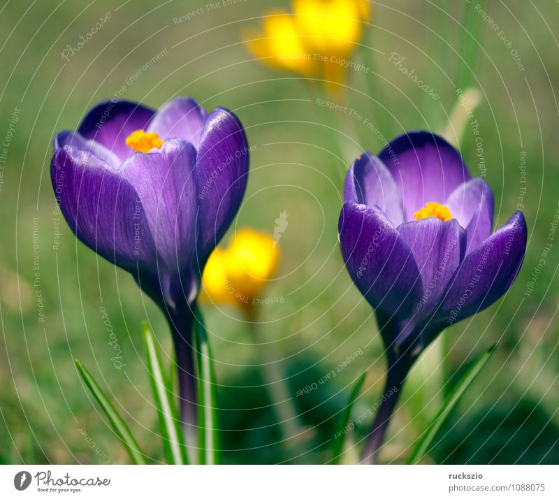 Gartenkrokus; Krokus; Crocus; Vernus; Natur Pflanze Frühling Blume Duft Krokusse Frühlingsblume Fruejahrsblume Frühblüher Fruejahrsblumen Knollengewächse