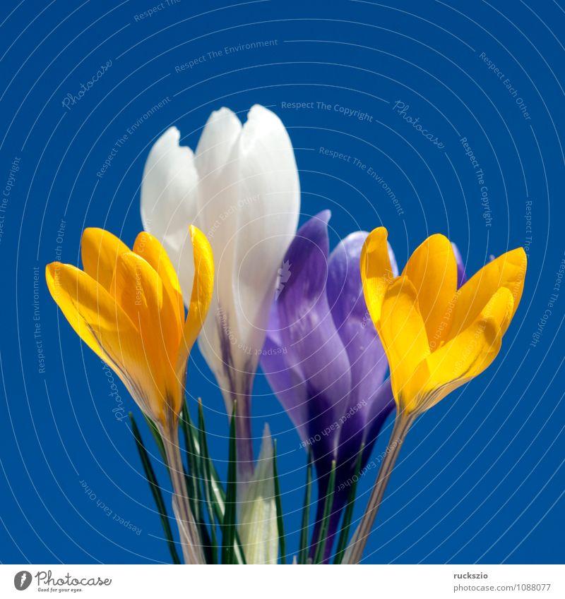 Gartenkrokus, Krokus, Crocus, Vernus, Natur Pflanze weiß Blume schwarz Blüte Frühling springen frei Objektfotografie Blütenpflanze Krokusse neutral Frühlingsblume Frühblüher freilassen