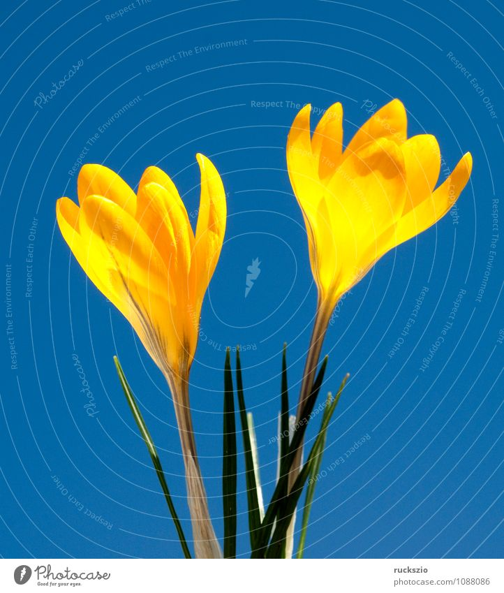 Goldbrokat-Krokus, Crocus, angustifolius, Natur Frühling Blume springen frei blau gelb Krokusse Krokusart Frühlingsblume Fruejahrsblume Frühblüher