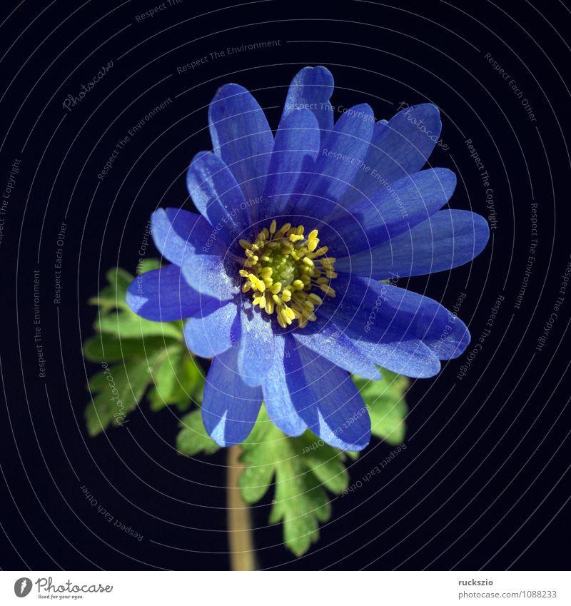 Strahlenanemone; Anemone; Blanda; Pflanze Blume Blüte Wildpflanze frei blau schwarz Knolle Zwiebel Anemonen Wiesenblume heimische Wildflora whitebox blackbox