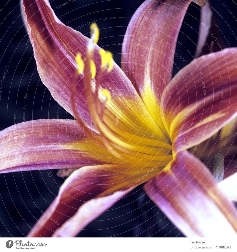 Taglilie, Hemerocallis, Taglilien, Natur rot Blume schwarz Blüte Hintergrundbild frei Stillleben Schlag Objektfotografie Lilien neutral Sommerblumen freilassen