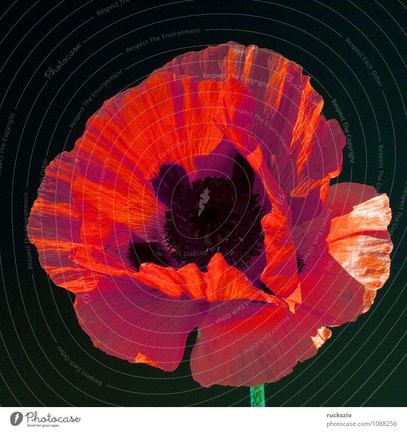 Tuerkischer; Mohn; Papaver; orientale; Natur Pflanze Blume Blüte frei rot schwarz Orientalischer Tuerkenmohn Klatschmohn Sommerblumen Gartenblume Gartenblumen
