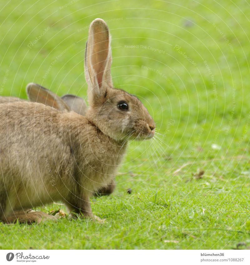 Löffel hoch!!! Tier Tiergesicht Fell Hase & Kaninchen Nutztier Nagetiere Osterhase Ohr Kopf Nase kuschlig natürlich braun Hasenohren Hasenpfote hören beobachten
