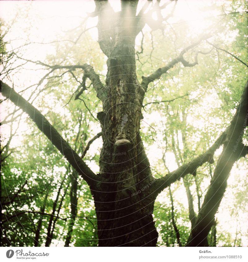 I am Groot (oder doch ein Ent?) Umwelt Natur Frühling Schönes Wetter Baum Blatt Grünpflanze Baumstamm Wald Holz gigantisch natürlich braun grün Kraft Klima