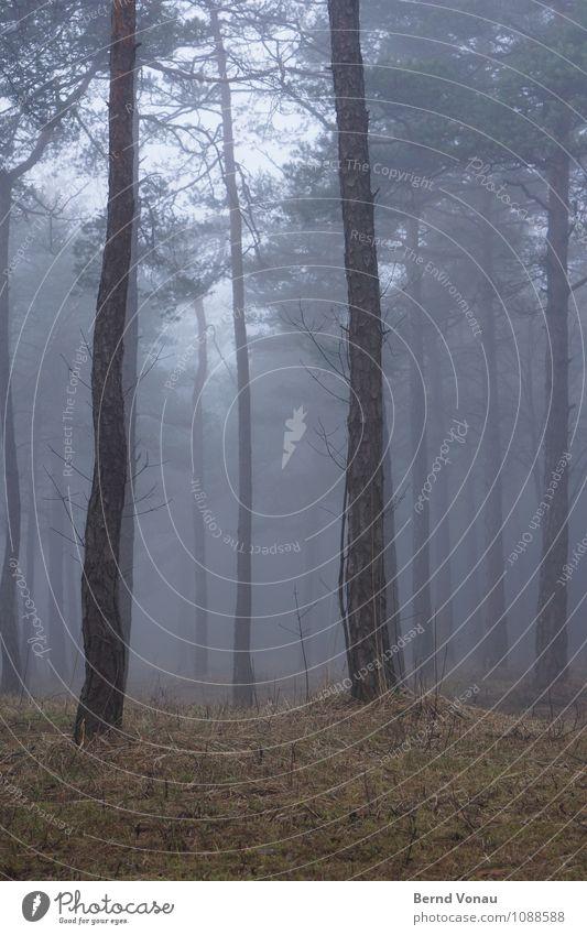 Vor lauter Bäumen ... Umwelt Natur Landschaft Wetter schlechtes Wetter Baum Gras Wald trist blau braun grün Baumstamm Kiefer Nebel Spaziergang verträumt Märchen