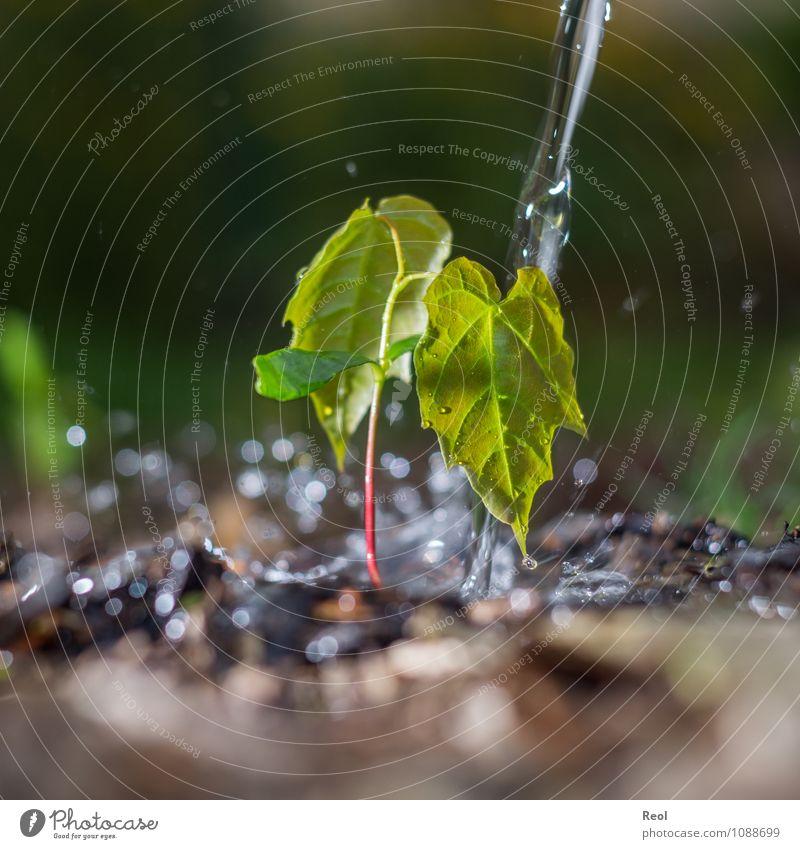 Wachstum Natur Pflanze Erde Baum Blatt Grünpflanze Wildpflanze Baumschössling Setzling sprössling Jungpflanze Trieb Garten Wald grün Ableger Pflänzling