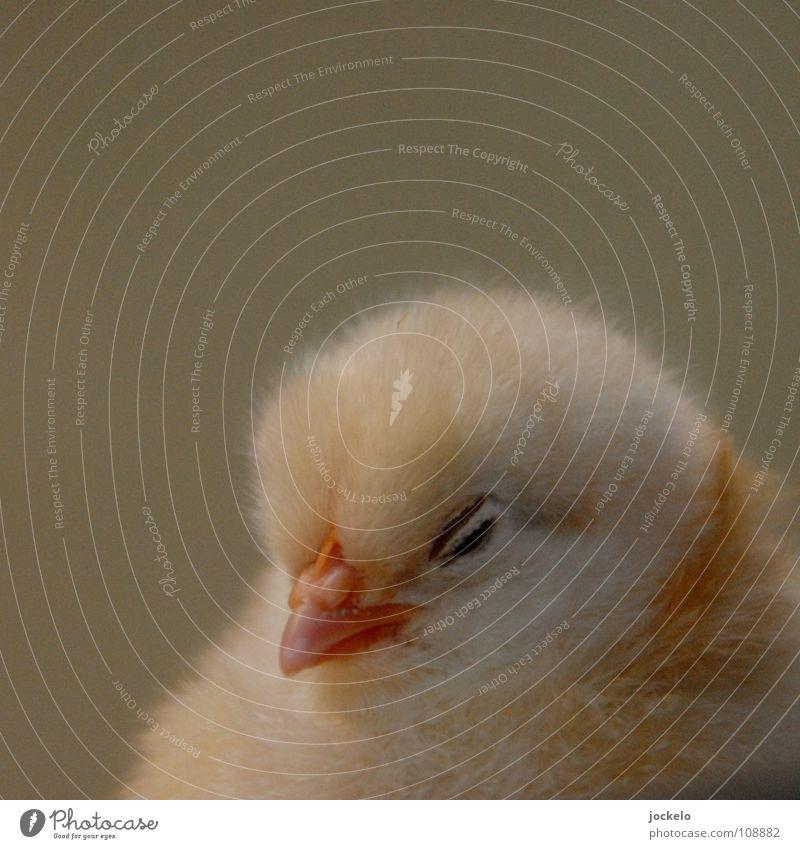 young chick Haushuhn Zoo Stall Schnitzel Nachkommen klein Pute Geburt Küken Nest Bauernhof Tier Vogel Chicken Feder Ei Süüüüüüüüüüß jomam Körnerfresser