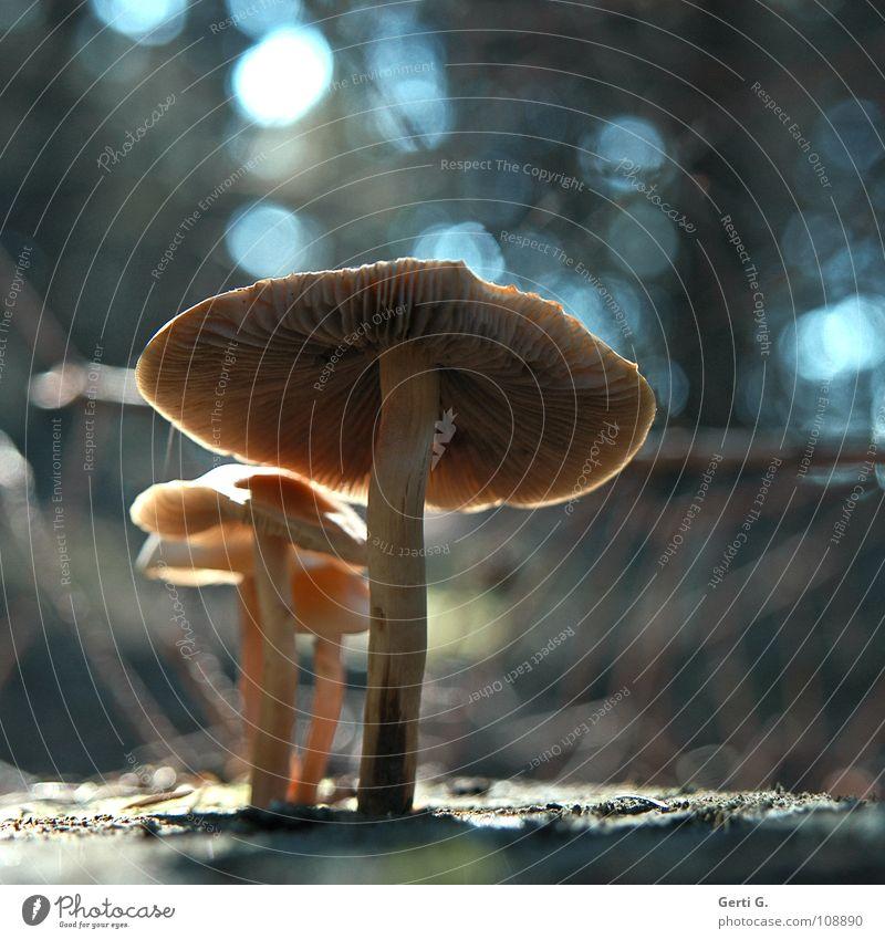 Familie Pilz blau Farbe schwarz Wald dunkel hell glänzend leuchten Schutz Punkt Regenschirm obskur durcheinander Fleck glühen
