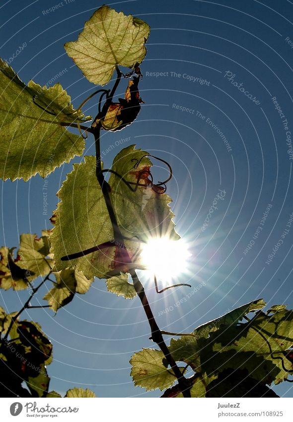Blätterspiel blau grün Sonne gelb Herbst orange Wein Vergänglichkeit trocken Alkohol Weinflasche Rhein Weintrauben Weinlese Weinglas Rheingau