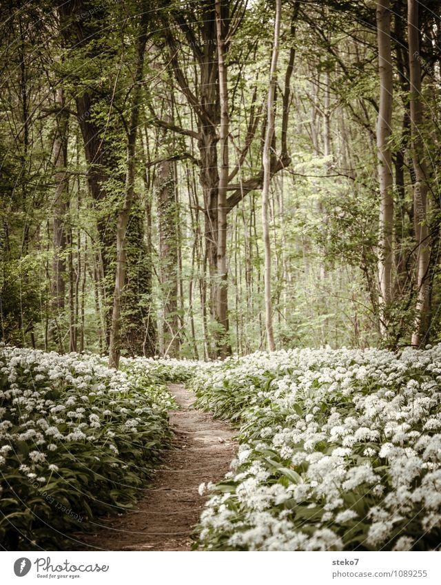 [400] langer Weg Frühling Blume Blüte Bärlauch Wald Wege & Pfade braun grün weiß Frühlingsgefühle Menschenleer