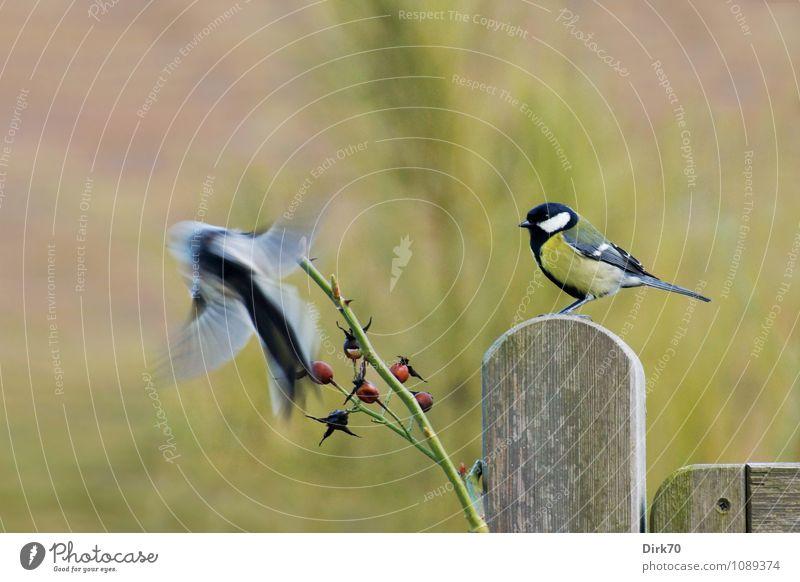 Kohl- gegen Schwanzmeise Garten Umwelt Natur Winter Rose Rosengewächse Hagebutten Zweig Tier Wildtier Vogel Kohlmeise 2 Zaun Zaunpfahl fliegen sitzen frech frei