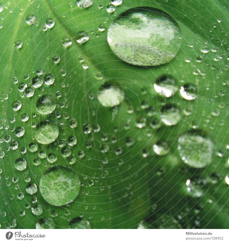Dröpsche auf Blättsche // 2 grün Blatt nass feucht Gefäße hydrophob Wassertropfen weich Pflanze Makroaufnahme Nahaufnahme Sommer glänzend Regen Glätte xxee