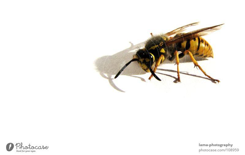 Kämpferisch Wespen Biene Hummel Insekt Facettenauge Fühler Angriff angriffslustig gefährlich kämpfen Tier gelb gestreift stechen Wespennest Gift Müdigkeit