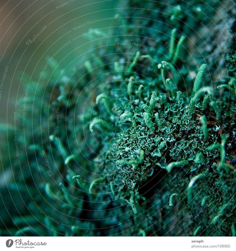 Bryophyta Moos Pflanze grün Hintergrundbild Laubmoos Bodendecker Sporen Symbiose Natur mikro Flechten Makroaufnahme Botanik Wachstum Strukturen & Formen