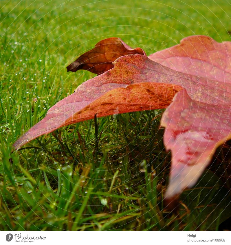 rot-grün... Farbe Blatt gelb Herbst Wiese Gras Garten braun Park glänzend liegen stehen Wassertropfen Spitze