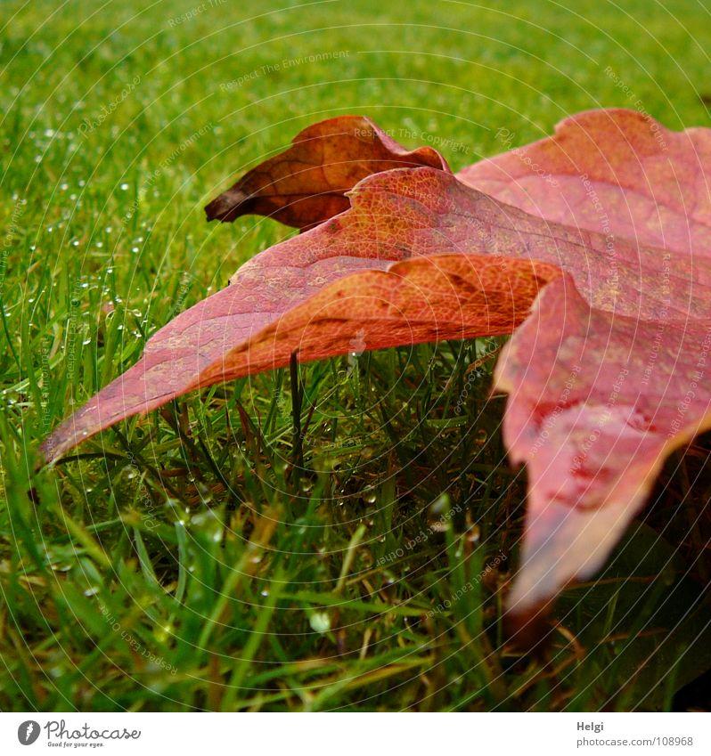 rot-grün... Herbst Blatt Weinblatt mehrfarbig Wiese Gras Halm vertikal stehen Morgen Tau nass Gefäße braun gelb Makroaufnahme Nahaufnahme Garten Park Farbe