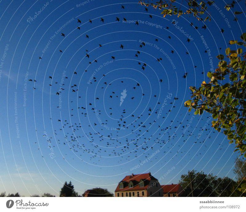 Nach Süden schön Blatt Herbst Wärme Vogel Physik Sehnsucht himmelblau Vogelschwarm