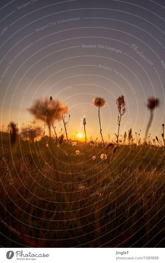 rüschen Umwelt Natur Landschaft Pflanze Himmel Wolkenloser Himmel Sonnenaufgang Sonnenuntergang Sommer Blume Gras Blüte Wildpflanze Wiese Blühend blau braun