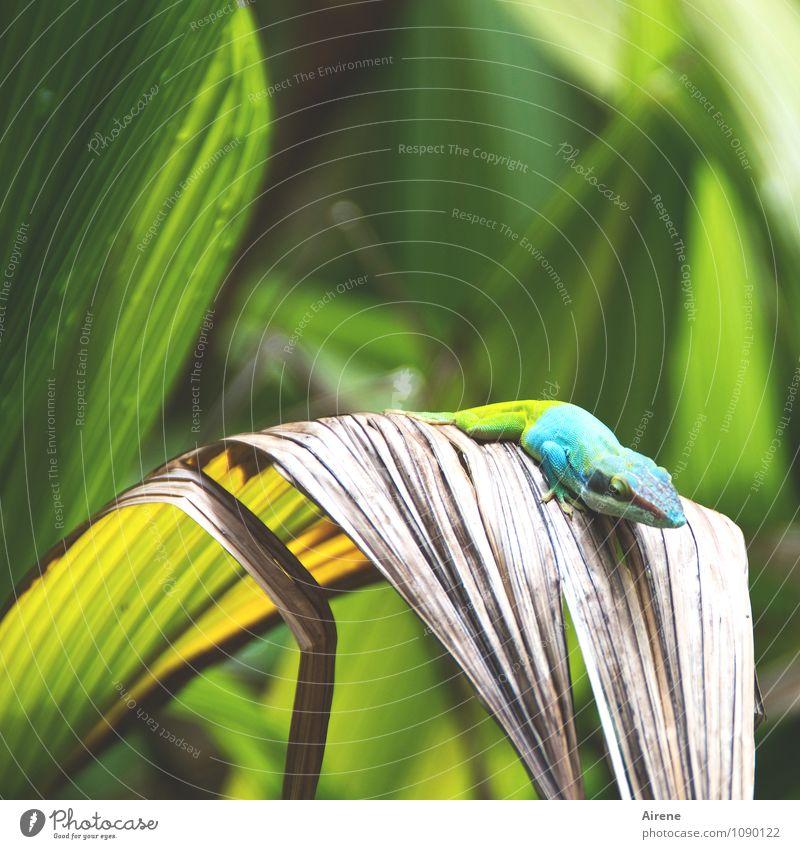 Anolis I Tier Leguane Echsen Reptil 1 beobachten hocken krabbeln laufen sitzen warten außergewöhnlich exotisch mehrfarbig gelb grün türkis einzigartig Farbe