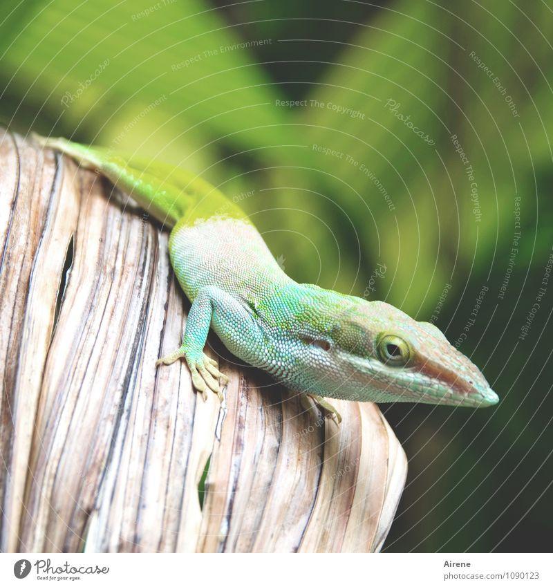 Anolis kommt näher Urwald Blatt Tier Echsen Leguane Reptil 1 beobachten hocken sitzen warten außergewöhnlich exotisch schön mehrfarbig gelb grün türkis