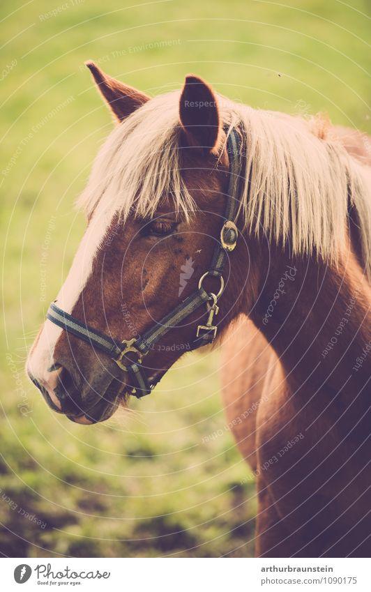 Pferd auf der Wiese Lifestyle Reiten Reitsport Natur Erde Frühling Sommer Schönes Wetter Feld Tier Nutztier 1 Blick stehen ästhetisch authentisch Neugier grün