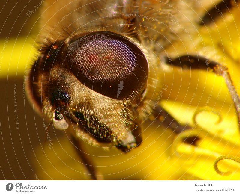 Eye(s) of a stranger Schwebfliege Facettenauge Beine gelb groß Licht Zweiflügler Insekt saugen Staubfäden Ekel Makroaufnahme Blick Monster Tier Nahaufnahme