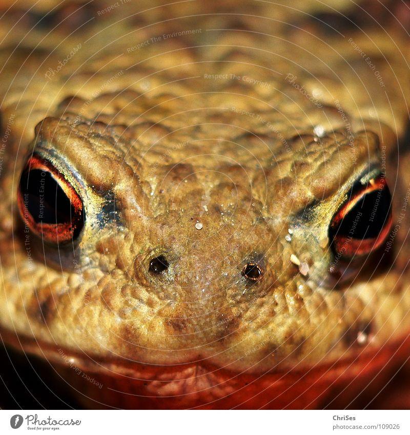 Fest im Blick : Erdkröte (Bufo bufo) Lurch Froschlurche frontal Tier Ekel hüpfen springen Allgäu Makroaufnahme Nahaufnahme Angst Panik Kröte Echte Kröten
