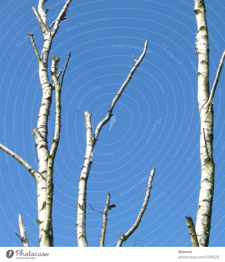 Birkenhimmel Himmel blau weiß Baum Winter kalt Herbst Baumstamm Baumrinde streng Wäldchen