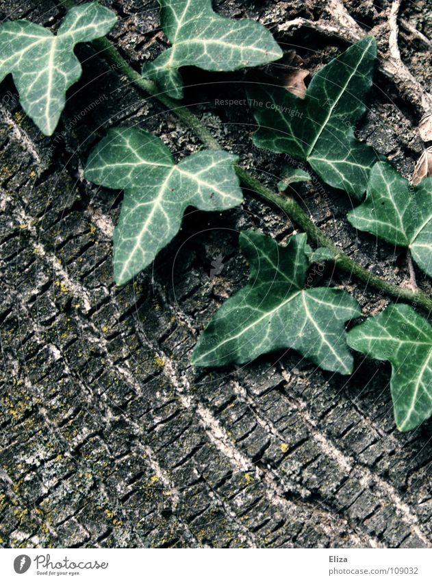 Fairytale Forest Efeu Märchen fantastisch Baum grün Pflanze Baumrinde Leben Gift rosa Aschenputtel Holz Holzmehl Blatt bewachsen Ranke Märchenwald Verhext