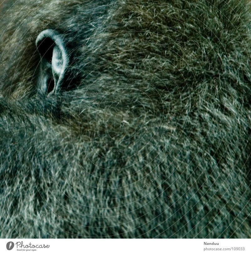 Hör gut zu ruhig schwarz Tier Kopf Kommunizieren Ohr einzigartig Fell hören Säugetier Sinnesorgane Affen Gehörsinn Gorilla Menschenaffen ehrwürdig