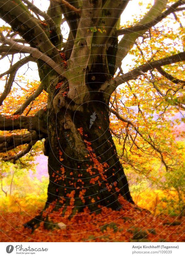 Herbsterwachen Natur schön alt Baum rot Blatt gelb Farbe Wald kalt braun Nebel Schweiz sanft Fee