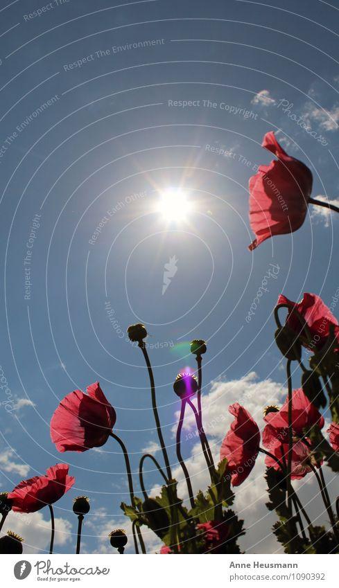 Mohn in der Sonne Himmel Natur blau Pflanze Sommer rot Blume Umwelt Leben Gefühle Wiese Blüte Garten Park Feld