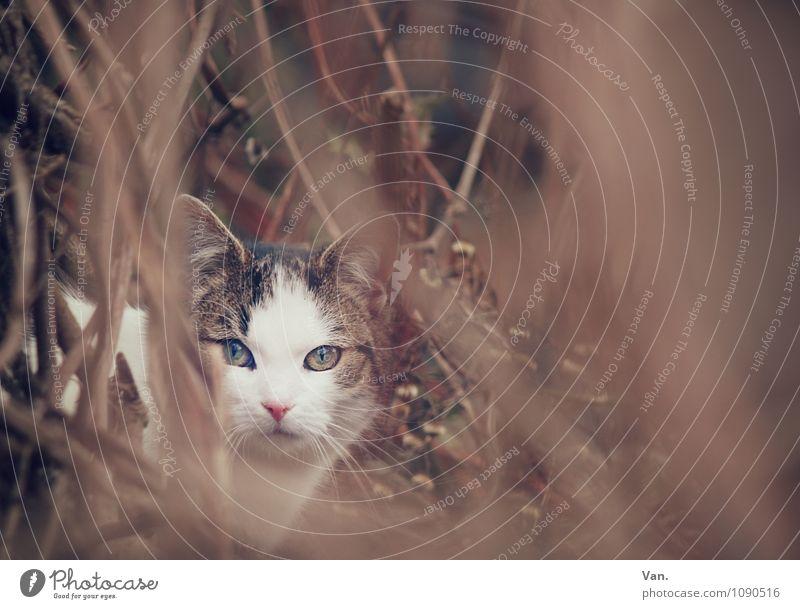 Buschmieze Natur Herbst Winter Pflanze Sträucher Zweig Tier Haustier Katze 1 Neugier schön braun verstecken Farbfoto Gedeckte Farben Außenaufnahme Menschenleer