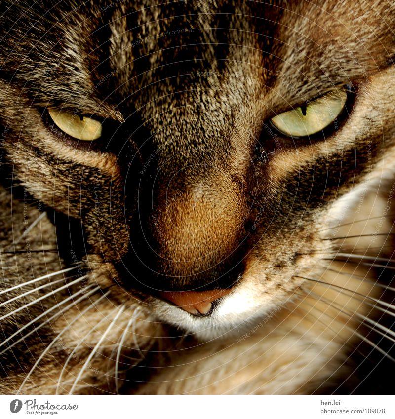Bolero Haare & Frisuren Auge Tier Fell Katze Denken liegen träumen braun Schnauze Gedanke Miau Säugetier Hauskatze MELOVEBOLERO Blick