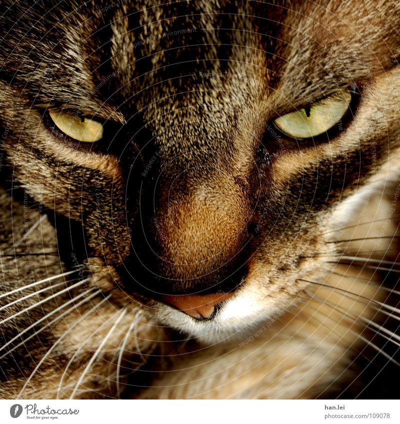 Bolero Katze Tier Auge Haare & Frisuren Denken träumen braun liegen Fell Gedanke Säugetier Hauskatze Schnauze Miau